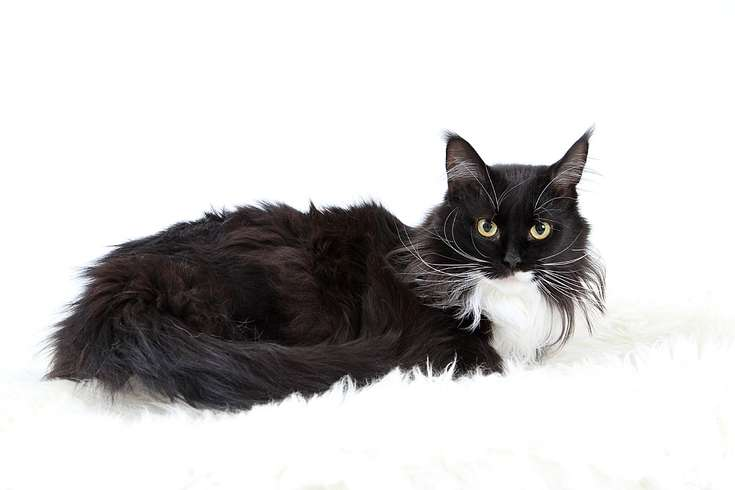 5-maine-coon