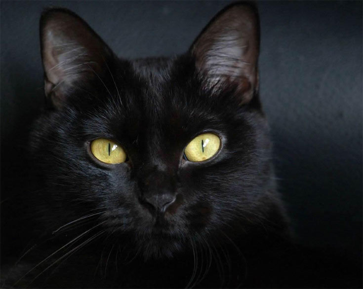 03-bombay-cat-breed