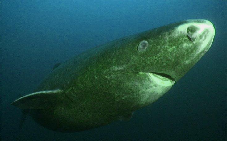 01-greenland-shark
