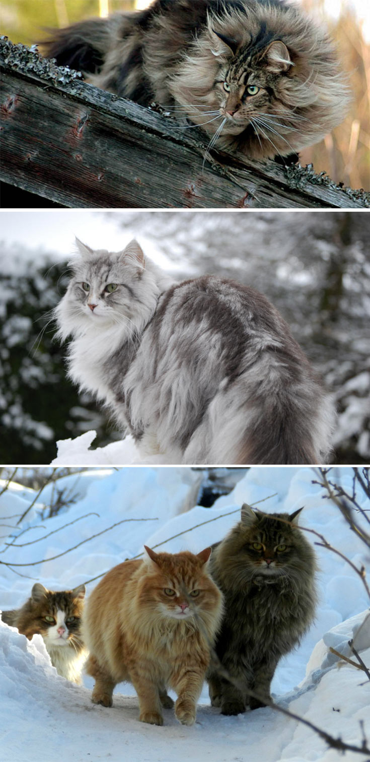 furry norwegian forest cats