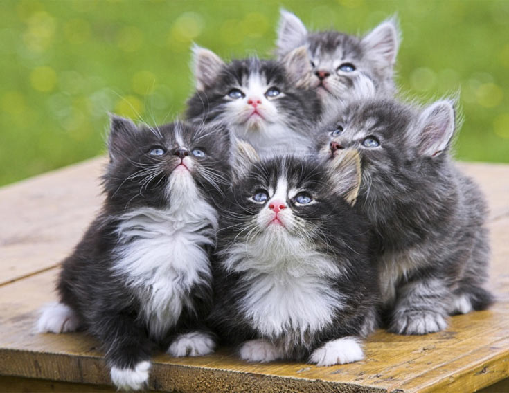 08-norwegian-kittens-bunch