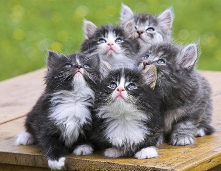 08-norwegian-kittens-bunch