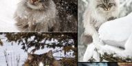 ten furry facts about norwegian forest cats
